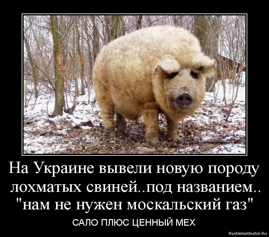 На Украине вывели новую породу  лохматых свиней..под названием..