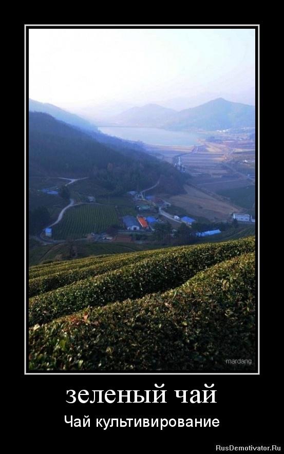 зеленый чай - Чай культивирование